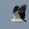 White-bellied Sea-eagle (Haliaeetus leucogaster)