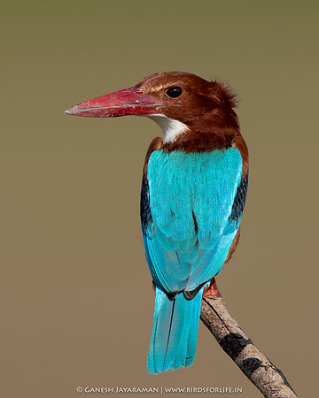 White-breasted Kingfisher (Halcyon smyrnensis)