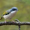 White-browed Shrike-babbler (Pteruthius aeralatus)