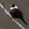 White-collared Blackbird (Turdus albocinctus)