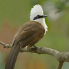 White-crested Laughingthrush (Garrulax leucolophus)