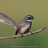 White-spotted Fantail or Spot-breasted Fantail (Rhipidura albogularis)