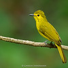 Yellow-browed Bulbul (Acritillas indica)