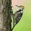 Yellow-crowned Woodpecker (Leiopicus mahrattensis)