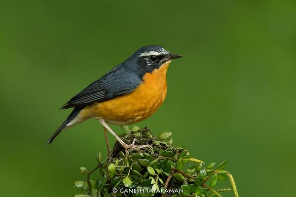 Indian Blue Robin (Larvivora brunnea)