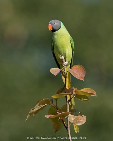 Slaty-headed Parakeet (Psittacula himalayana)