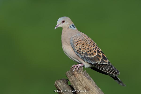 Oriental Turtle-dove (Streptopelia orientalis)