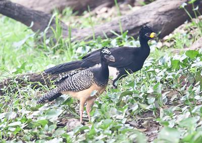 Currasow Pantanal_7I2B9422_10-09-26