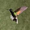 Black-bellied Hummingbird
