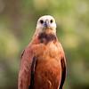 BlkColHawk Pantanal_7I2B9435_10-09-26