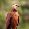 BlkColHawk Pantanal_7I2B9434_10-09-26