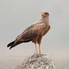 untitled20100922SavanaHawk Pantanal_7I2B8347_10-09-22