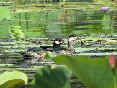 Green Pygmy Geese in Australia