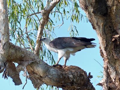 Eagle in Australia