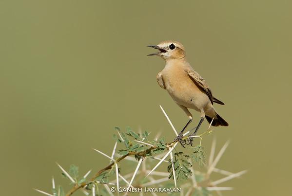 Desert Wheatear (Oenanthe deserti) - Female