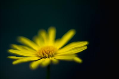 euryops daisy