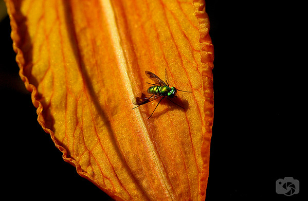 Fly on a Tiger Lily