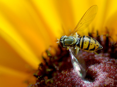 Hover fly in Mid-flight