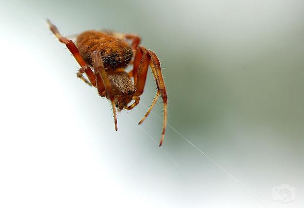 Orb-web Spider - Family Araneidae