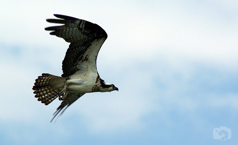 Osprey - Oceanside, Long Island