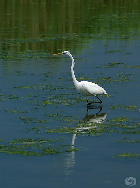 The Great Egret - Oceanside, Long Island