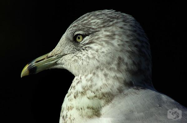 Sea Gull - Stonybrook, New York