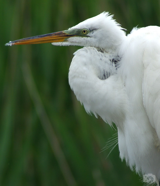 The Great Egret - Oceanside, Long Island