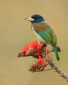Great Barbet (Psilopogon virens)