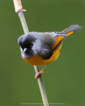 Golden-breasted Fulvetta (Lioparus chrysotis)