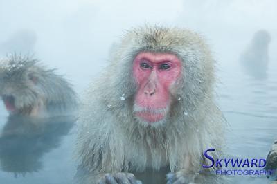 Snow Monkey Posing