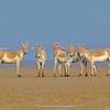 Indian Wild Ass (Equus hemionus)