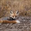 Indian Desert Fox (Vulpes vulpes pusilla)