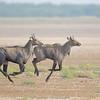 Blue Bull a.k.a Nilghai (Boselaphus tragocamelus)