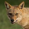 Indian Jackal (Canis aureus indicus)