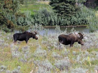 Grazing Moose | Grand Tetons National Park