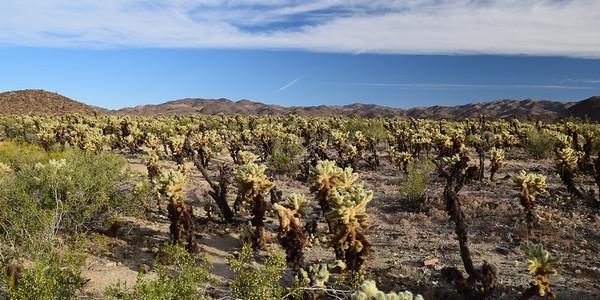 Cholla Cactus Garden   Joshua Tree NP