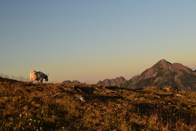 Mountain Goat | Olympic National Park