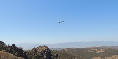Soaring Condor | Pinnacles National Park