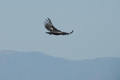 California Condor | Pinnacles National Park