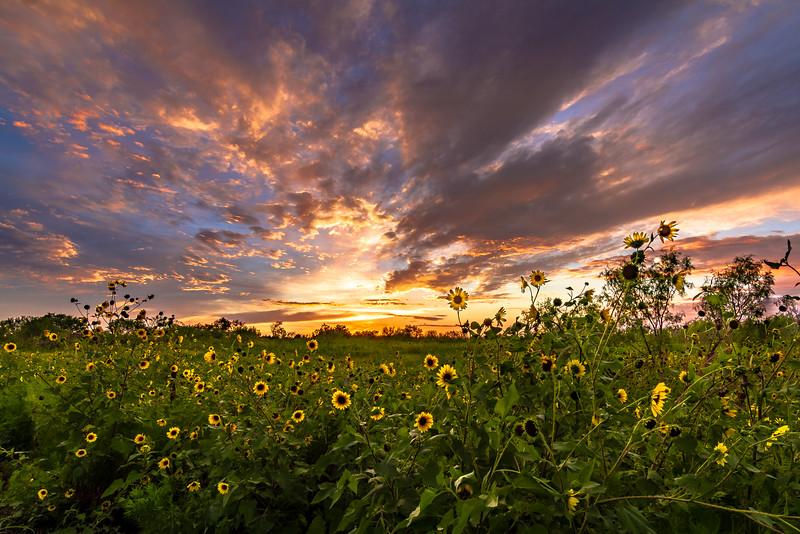 Glory Over Sunflower Fields