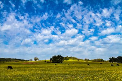 Field of Dreamy Buttercups