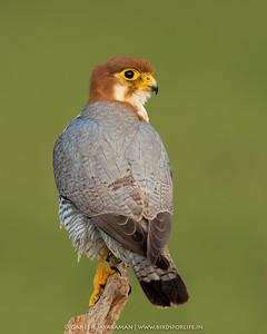 Red-necked Falcon (Falco ruficollis)