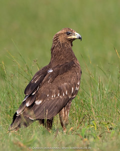 Greater Spotted Eagle (Clanga clanga)