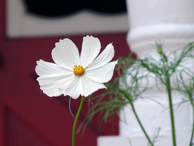 Cosmos Flower | Bar Harbor, Maine