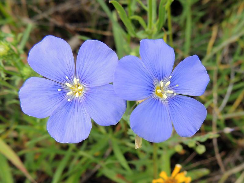 Wildflowers   Grand Teton National Park