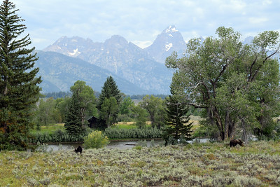Grazing Moose | Moose, WY