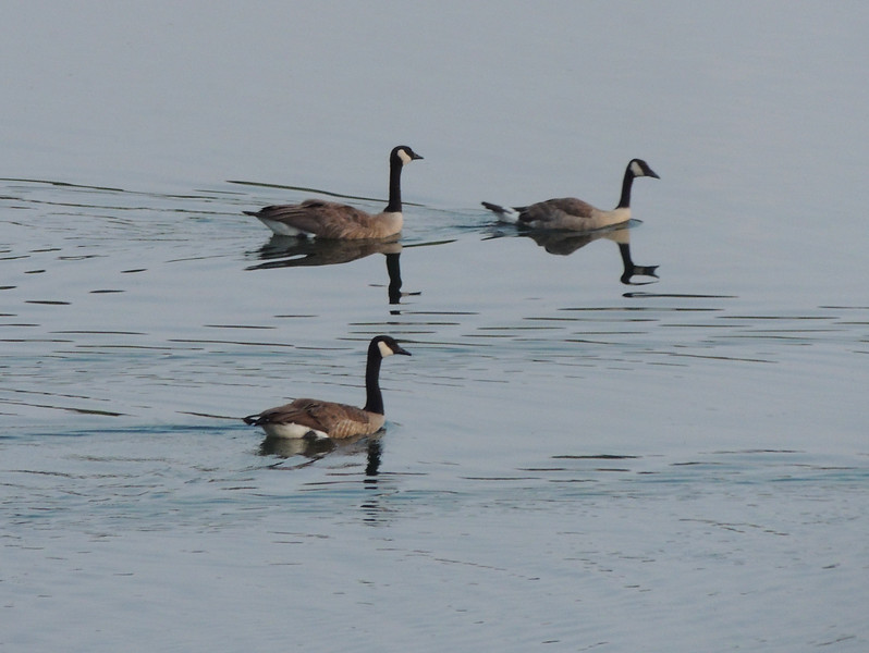 Oxbow Bend Geese | Wyoming