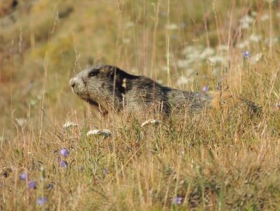 Olympic Marmot | Olympic National Park
