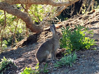 Rabbit | Olympic National Park