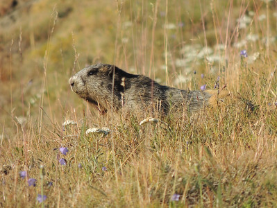 Olympic Marmot | Olympic National Park